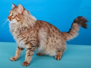 Supernova Huflepuff Of Take Care Bengals Longhair